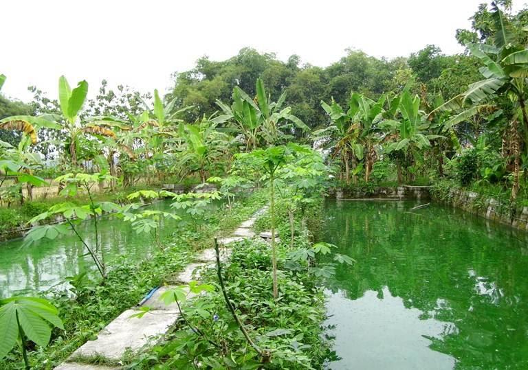 Budidaya ikan gurame gurami di Ngawi