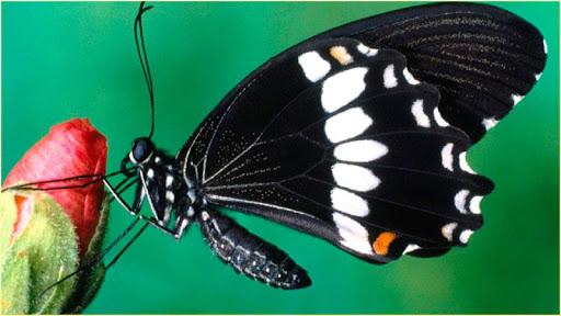 蝴蝶高清壁紙