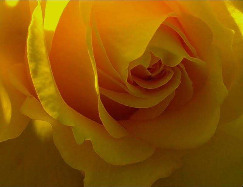 Tutto il giallo in una rosa di marisa_serafini