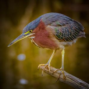 Green Heron Zoo_.jpg