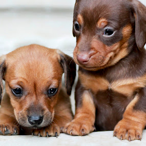 Next to my  brother by Susan Pretorius - Animals - Dogs Puppies