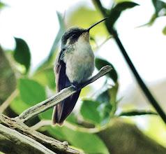 Photo: Kolibri (genaue Art?)