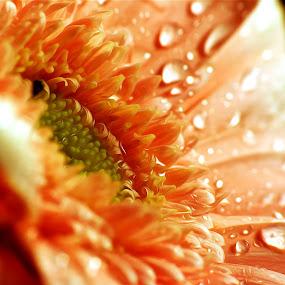 Orange... by Emanuel Correia - Flowers Single Flower