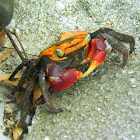 Red Claw Mangrove Crab