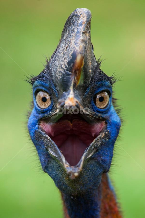 Kasuari Bird