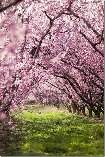 spring trees pink