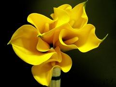 yellow tanakawho