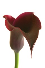purple calla phil wood