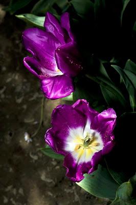 tulipani  di luigino