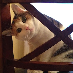 Peeking! by Sue Green - Animals - Cats Playing ( cats, animal portrait, animals, pwc84,  )