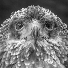 Feathers by Garry Chisholm - Black & White Animals ( raptor, bird of prey, nature, feathers, garry chisholm )