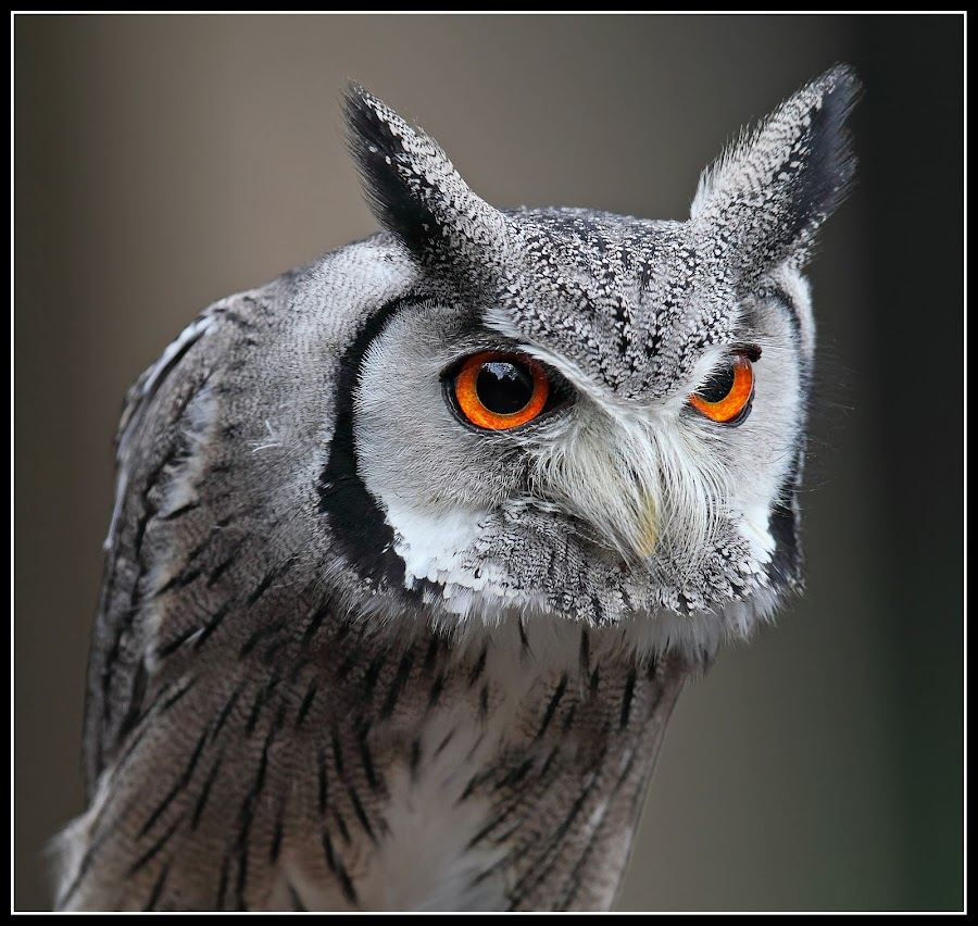white faced scops owl by Paul Mcmullen - Animals Birds ( bird, scops owl, bird of prey, owl, white faced scops owl, raptor )