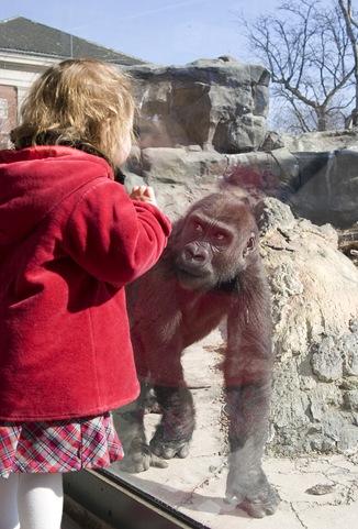 ruby gorilla