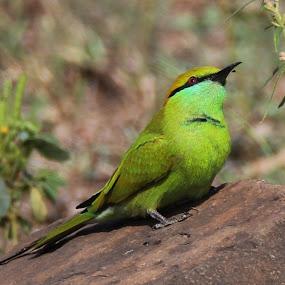 Green bee-eater by Vivek Naik - Animals Birds ( green bee-eater, bird )
