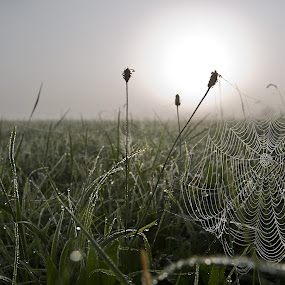 THE Wet Web by Steve Struttmann - Nature Up Close Webs ( gras, drops, spider, web, morning, sun, spictures, luxembourg )