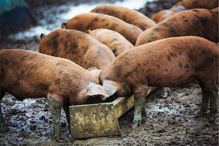 PIGS AT THE TROUGH – THE SENATE IN SESSION