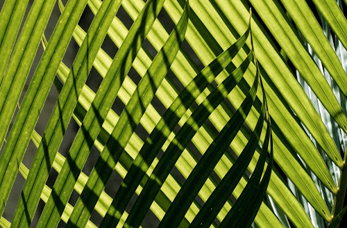 Palm Fronds by Doug Faraday-Reeves - Nature Up Close Leaves & Grasses ( palm, pattern, backlight, green, tropical plants, fronds )