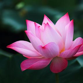 Pink Beauty by Steven De Siow - Flowers Single Flower ( pink flower, lotus, pink, flower, lotus flower )