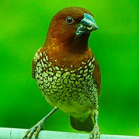 by Mahesh Gadekar - Animals Birds (  )