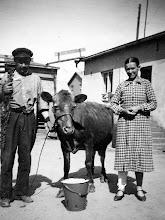 Photo: 1945 Aaro ja Elina Laaksonen lehmineen Sopukadulla