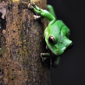 Frog on a Log by Jon Hurd - Animals Amphibians ( look, wood, frog, green, stare, amphibian, wildlife, log, amphibians, eyes, contrast, nature, frogs )