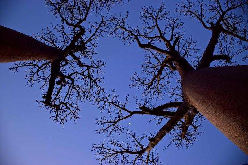 Baobab di Alessandra Alba