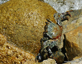 Photo: Rock crab; Tehuamixtle cove, Jalisco