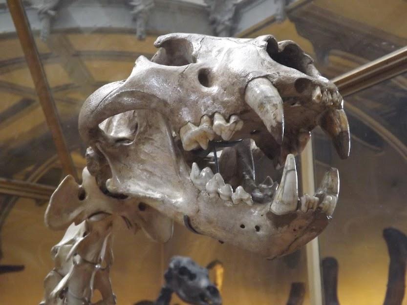 Crâne fossile de lion des cavernes, MNHN - Tous droits réservés