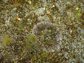 Photo: more lichens on the other side of the reindeer fence