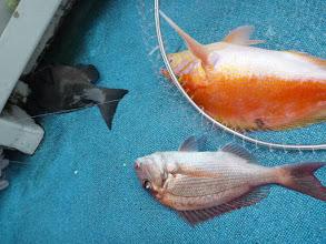 Photo: クチブトに真鯛にアカイサキ!