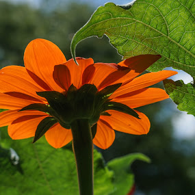 Mexican Sunflower by Wendy Alley - Flowers Single Flower (  )
