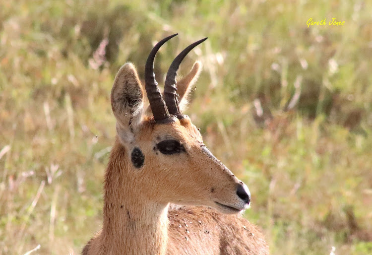 Chanler's mountain reedbuck
