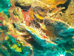 Photo: Banded Shrimp