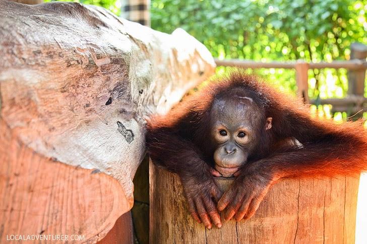 Orangutan at Bali Safari and Marine Park.
