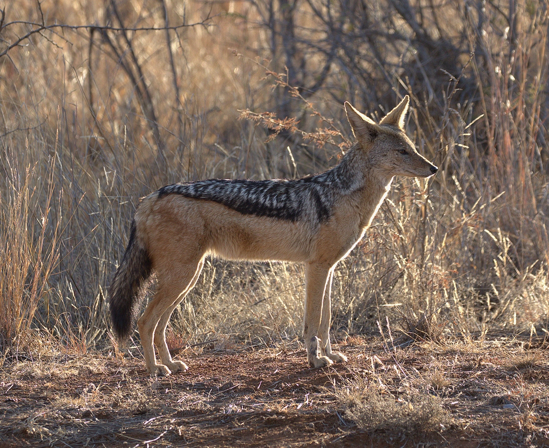 black-backed jackal (Copy).jpg