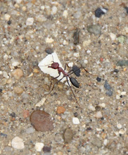 Photo: Day 101 - Huge Red Ant With a Piece of our Cheese!