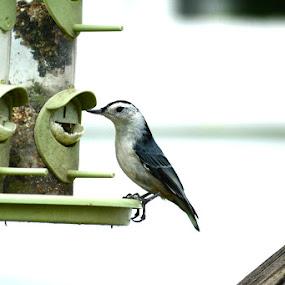 feeding nuthatch by Lisa Holden - Animals Birds ( blue, pwctaggedbirds, eating, birdfeeder, grey, nuthatch,  )