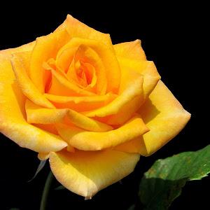 ROSE - DELICIA - 02.jpg
