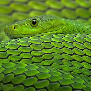 Grüne Mamba - Dendroaspis viridis - Mamba (31a).jpg