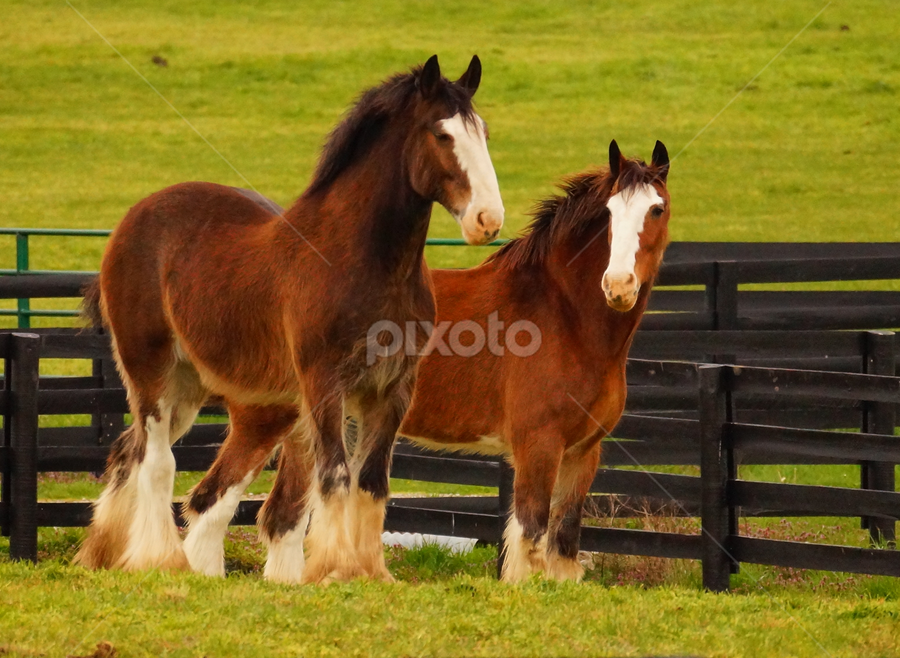 Hanging With My Friend by Beth Collins - Animals Horses ( fence, draft horses, friends, park, horses, pair, grass, green, horse, buddies, kentucky horse park, kentucky,  )