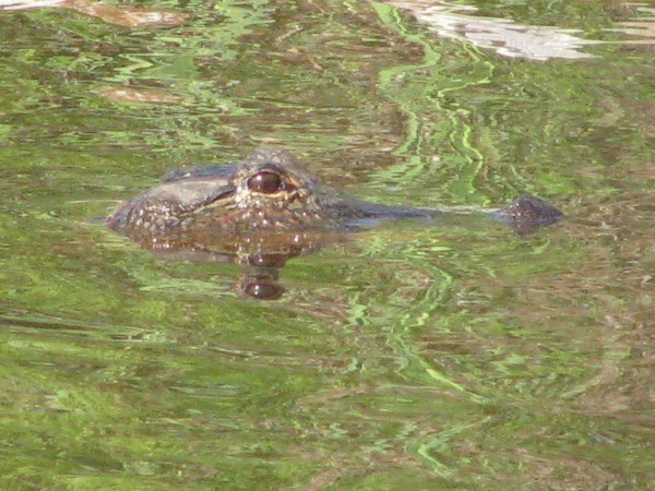 Chris & Tim were crabbing this morning--the alligators were out & about.