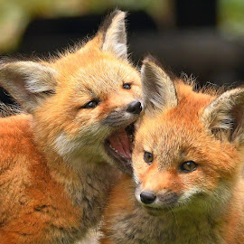You are delicious by Steven Liffmann - Animals Other Mammals ( carnivores, vulpes vulpes, red fox, north american mammal )