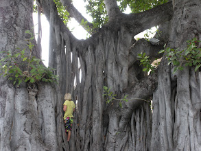 Photo: A kid climbing a giant banyan tree overlooking the transition area.