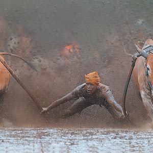 cow race.jpg