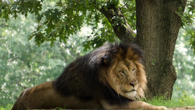 Photo: The Lion Awakes from Slumber -- Smithsonian National Zoo, Washington, DC
