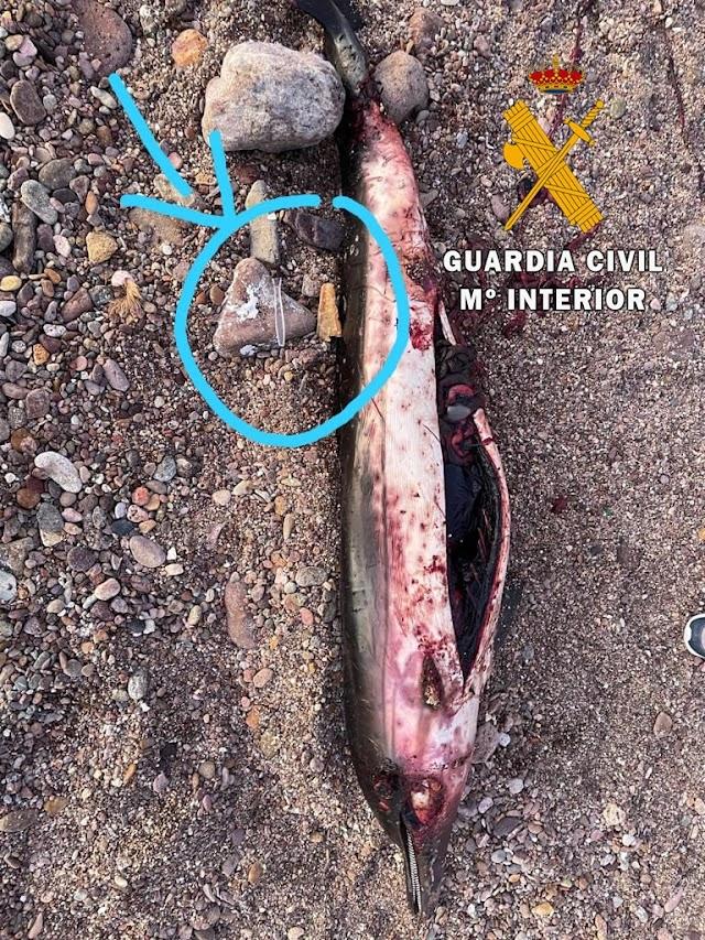 Delfín rajado que apareció en Cabo de Gata.