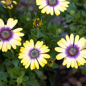 Yellow purple flash by Mark Luyt - Flowers Flower Gardens ( yellow, bright, purple, three, flower )