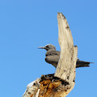 Brown noddy tern
