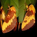 Moth Citheronia laocoon