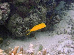 Photo: Plagiotremus laudandus flavus (Bicolor Fangblenny), Naigani Island, Fiji